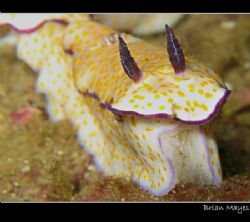Risbecia pulchela munching on some hydroid.........Canon ... by Brian Mayes